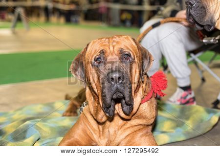 Fila Brasileiro big dog portrait - at the exhibition