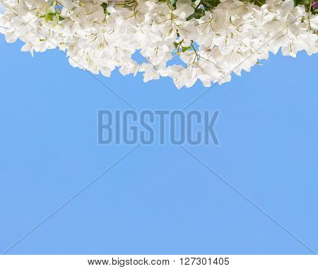 White blooming bougainvilleas against the  blue sky.