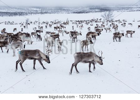 Reindeer herd in winter in Northern Finland (Lapland)