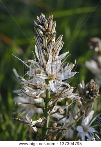 Common Asphodel - Asphodelus microcarpus Tall Mediterranean Wild Flower poster