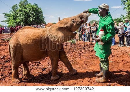 NAIROBI KENYA - JUNE 22 2015: Sheldrick Elephant Orphanage in Nairobi (Kenya) - one of the workers feeding a young orphant elephant with milk