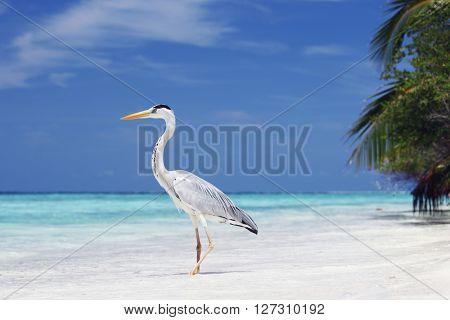 Maldivian heron on a tropical sea beach