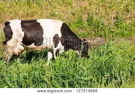 Cow grazing on a summer pasture. White and brown cow.