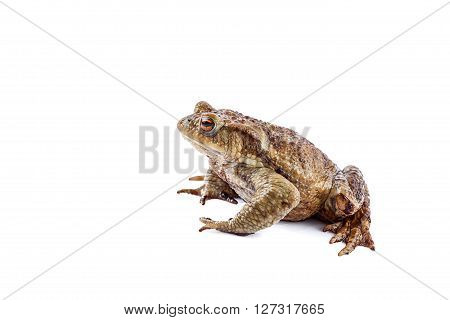 Frog or Common toad (Bufo bufo) on white background