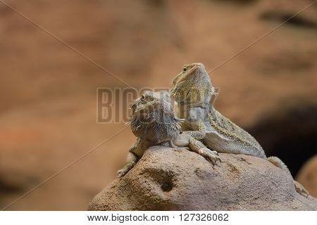 Central Bearded Dragon Pogona Vitticep. Pair Of Lizards Sitting On A Dry Rock In A Desert Environmen
