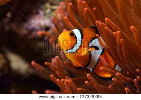 Amphiprion Ocellaris Clownfish In Marine Aquarium with actinia