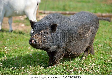 Fat Black Pot Belly Pig Walking On Green Summer Grass On A Farm