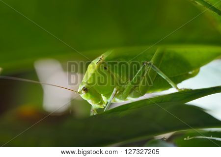 Large Bright Green Grasshopper Looking Through Lush Green Leaves