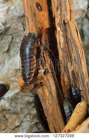 Black giant madagascar hissing cockroach group in natural environment. Princisia vanwaerebeki. poster