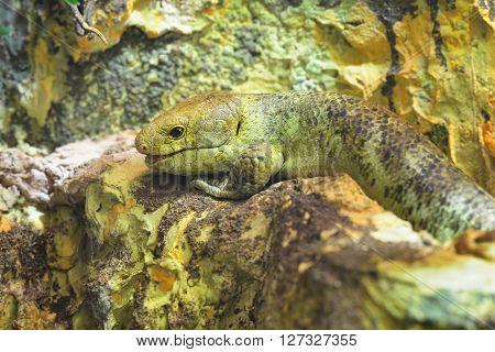 Solomon Island Skink (corucia Zebrata). Green Lizard Camouflage In Natural Environment.