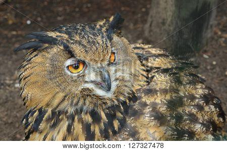 Eurasian Eagle-owl (bubo Bubo) Head Closeup In Natural Environment.