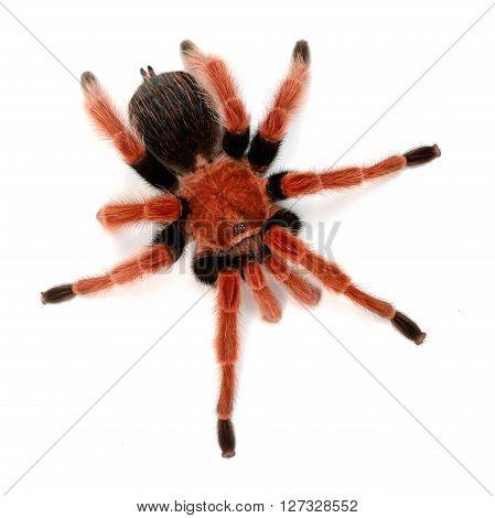 Birdeater Tarantula Spider Brachypelma Boehmei Isolated Over White. Bright Red Colourful Giant Arach