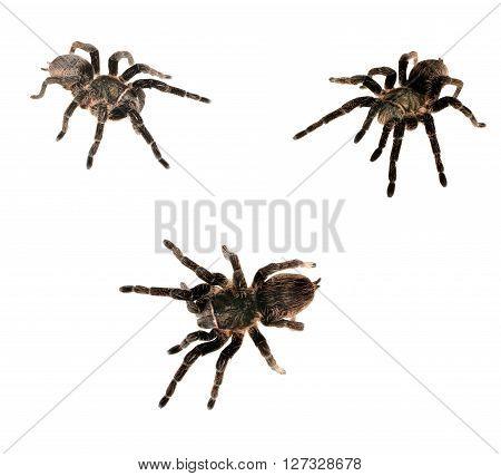 Black curly-hair tarantula Brachypelma albopilosum isolated over white