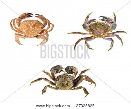 Crab Compilation. Edible Shore Crab, Colorful Stone Or Warty Crab Eriphia Verrucosa And Chinese Mitt