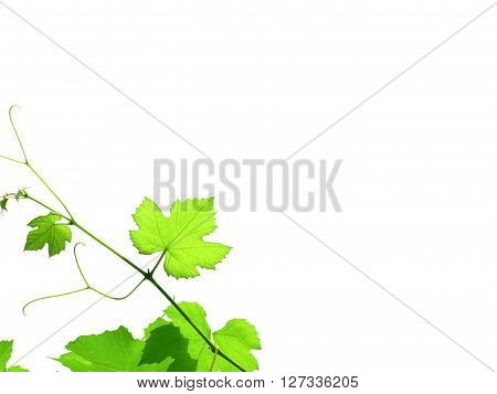 Grapevine With Copy Space