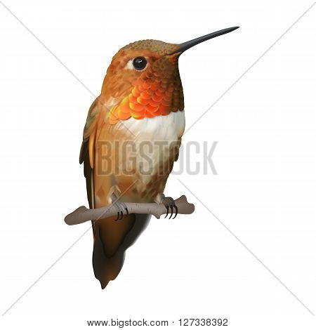 Rufous Hummingbird - Selasphorus rufus.    Hand drawn vector illustration of a male Rufous hummingbird with iridescent orange-red throat patch on transparent background.