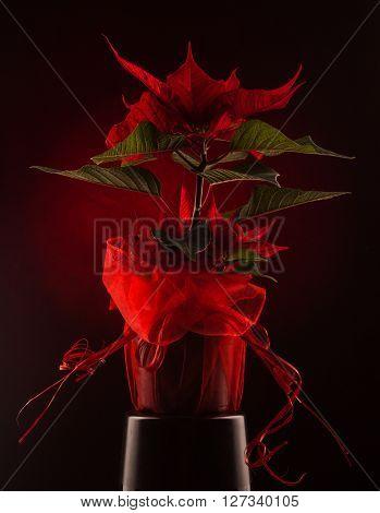Flower. Christmas red star on black background