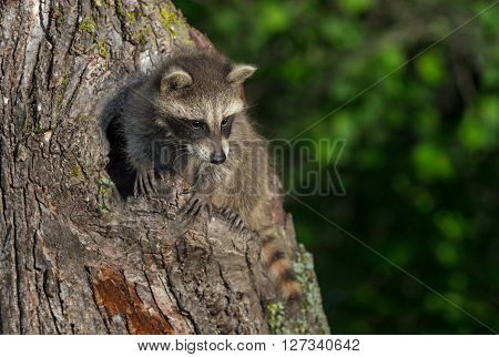 Young Raccoon (Procyon lotor) Clings to Tree - captive animal