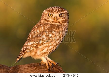 Small owl on a tree trunk in the nature