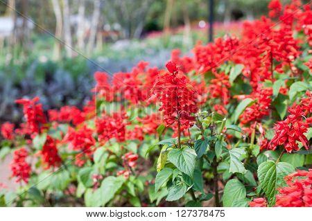 Close-up Red Salvia (salvia Splendens)