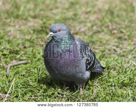 Closeup portrait of Rock Dove Columba livia in the grass selective focus shallow DOF