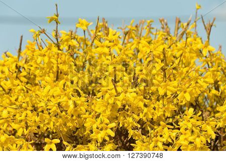 Yellow Blossoms Of Forsythia