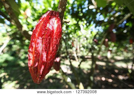 A detail view of a growing cocoa pod on a tree in Huayhuantillo village near Tingo Maria in Peru 2011