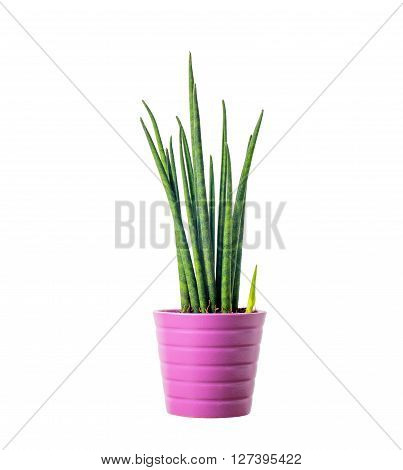 Decorative green house plant in the pot - Sansevieria cylindrica