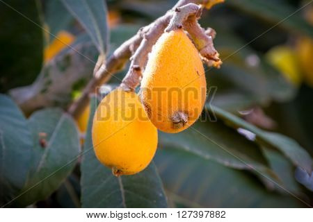 The loquat or Eriobotrya japonica is a evergreen plant with yellow fruits, It is also known as Japanese plum and Chinese plum