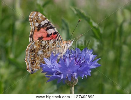 close up of Painted Lady butterfly on cornflower