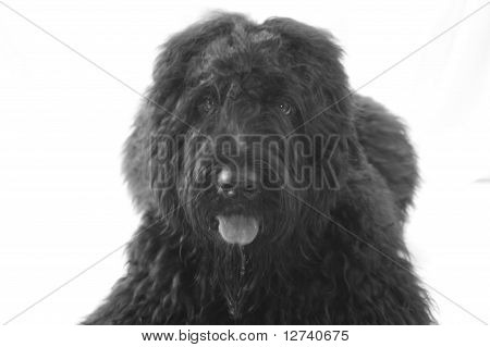 Black Russian Terrier Dog
