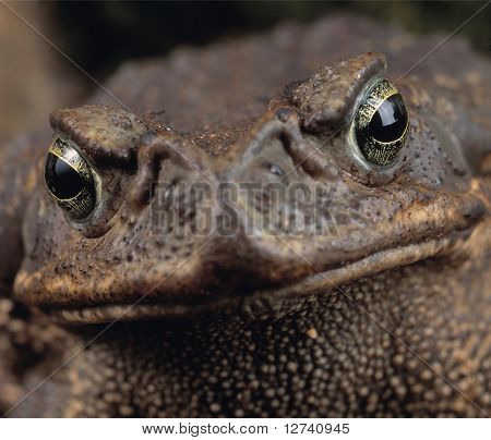 close up portrait of a giant frog looking very angry poster
