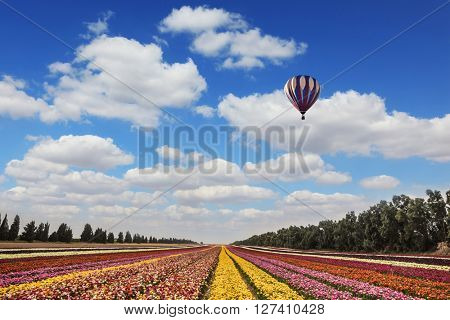 Quiet sunny spring day. Flower kibbutz near Gaza Strip. Great multi-colored balloons flies over flower field
