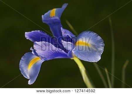 Dutch iris (Iris xiphium). Called Spanish iris also. Another scientific names are Iris lusitanica and Iris x hollandica. Lateral view of blue flower