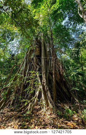 Massive tree is buttressed by roots within Tangkoko National Park in North Sulawesi Indonesia. This park is home to Black macaques and Tarsiers. It is close to Manado