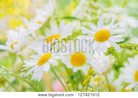 Chamomile and other wildflowers on the summer meadow closeup