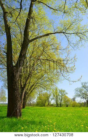 Trees on meadow. Spring landscape.