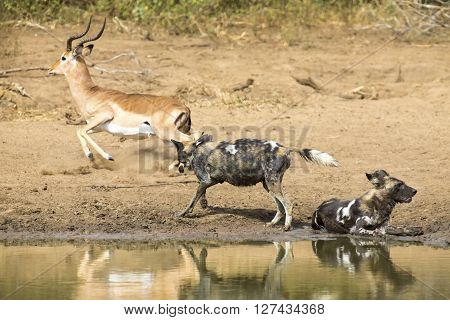 Two wild dogs rest next to a waterhole to drink some water and chase impala