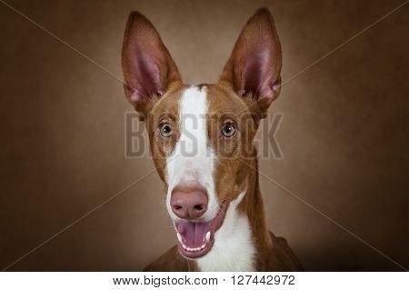 Portrait of purebred Podenco ibicenco dog against brown background poster