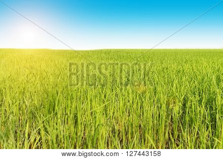 Green Rice in the field with blue sky.. Rice fields ** Note: Shallow depth of field