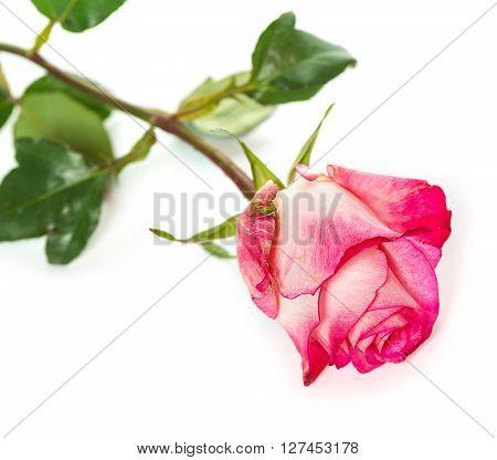 Fresh Pink Roses On White