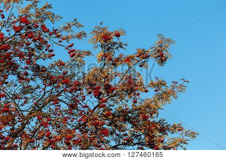 Rowan ashberry fall autumn tree outdoors back