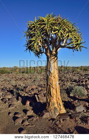Young Quiver Tree in forest outside of Keetmanshoop Namibia at sunset. Warm evening light