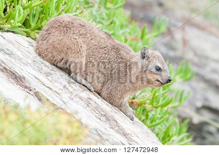 A Rock Hyrax Procavia capensis on a sloping rock