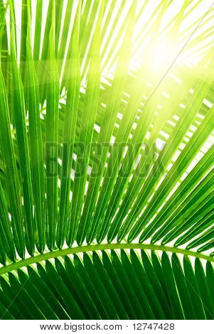 leaves of palm and morning light