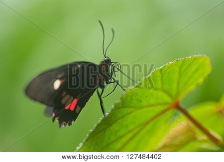 Parides sp. common mormon butterfly on green nature background, close-up.