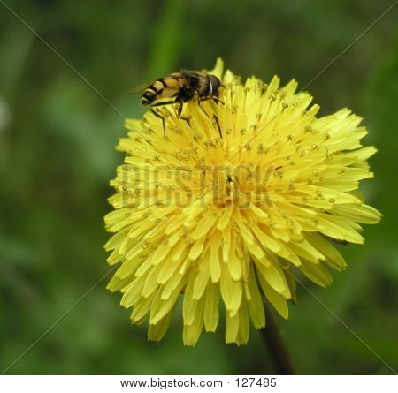 Bee On A Dandelion Collecting Pollen