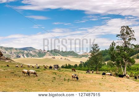 Grazing sheep and goats on grassland landscape in Gorkhi Terelj National Park in Mongolia