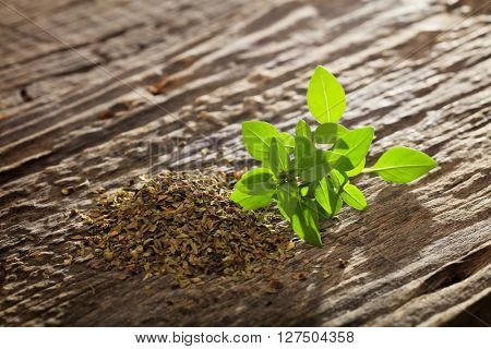 Heap of dry and branch of fresh green origanum on wooden table