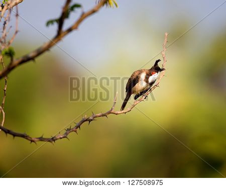 Red-whiskered bulbul perching on a branch in the morning sun.